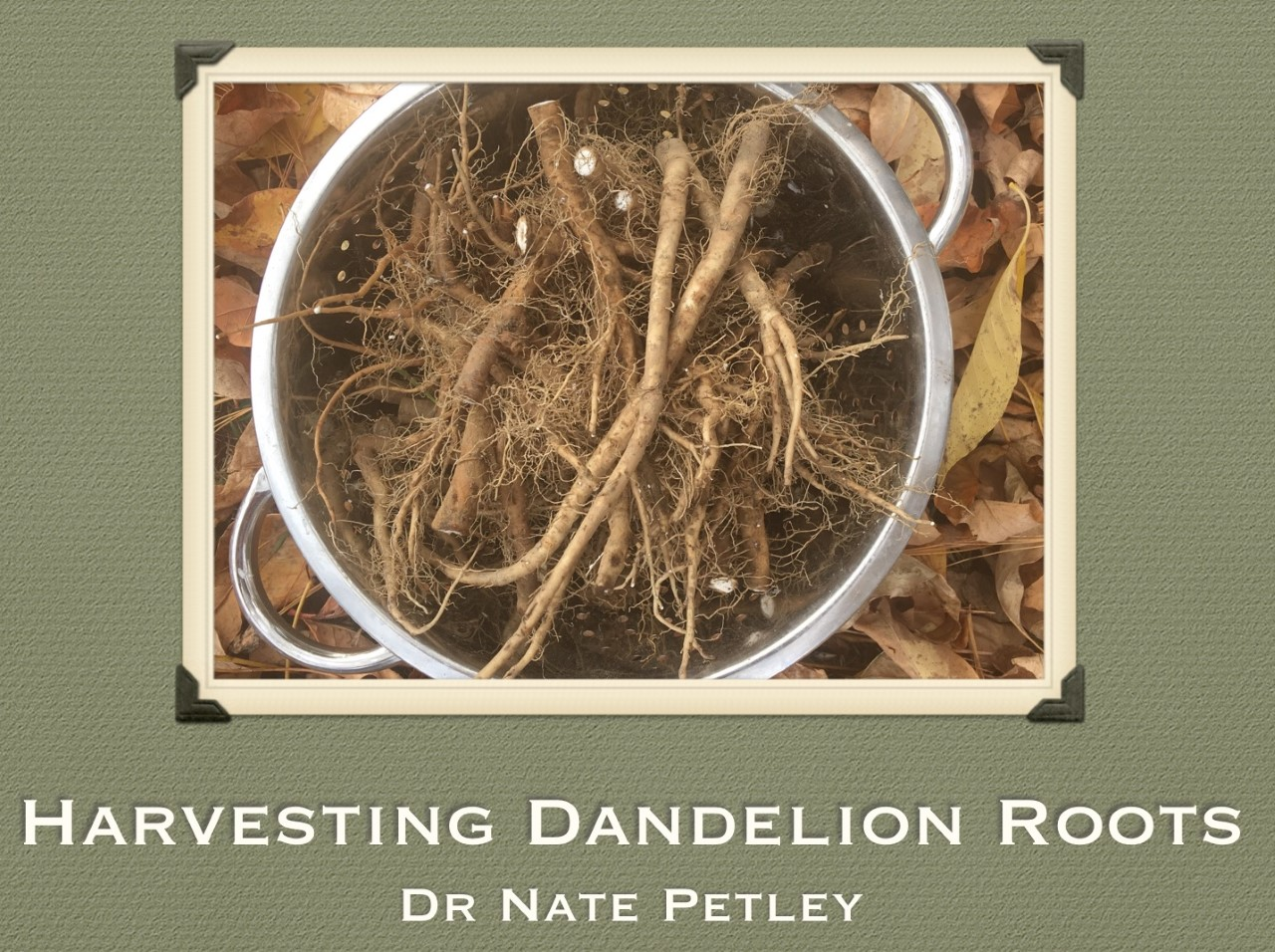 Roasted Dandelion Root Tea (Part 1)