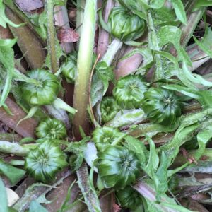 Dandelion Flower Buds ~ Dr. Nate Petley