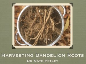 harvesting-dandelion-roots